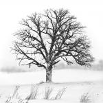 Oak in Snowstorm @ Waukesha, WI